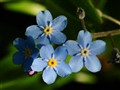 little blue flowers