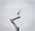 egret (1 of 1)