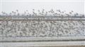 Flock of Waders
