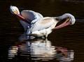 Pelican Preen