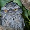 Baby Frogmouth 3656