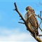 Short Tailed Hawk