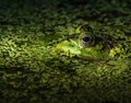 Frog in Swamp