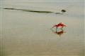 running crab-1228
