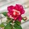 Roses (Reds)_P2020039-Edit