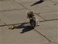 NYC squirrel