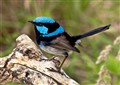 Male Superb Fairywren