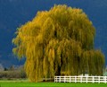 Weeping Willow!!