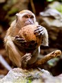 Cave Macaque