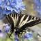 Western Swallowtail (Papilio rutulus)