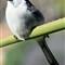 Puffed Back Shrike