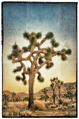 joshua_tree1_Snapseed