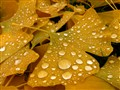 Autumn Leaves after Rain