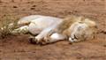 Lion slieps after diner