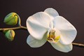 Orchid-White