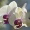 V1 Orchids