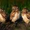burowing-owl-owlets1