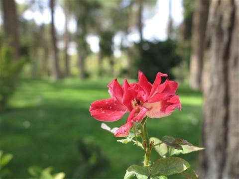 Flower Blume Blüte Blossom Rose Roses Chehel Sotun Park Isfahan