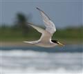 St. Kitts Tern