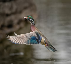 Wood duck takes off from water