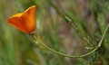 Mature open petals and closed budding California Poppy.
