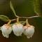 Leatherleaf  (Chamaedaphne calyculata).