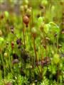 Spagnum Flower
