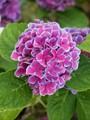 Purple Hydrangea with Luminous Fringes