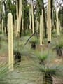 Xanthorrhoea (Australian native)