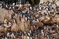 svalbard guillemot colony