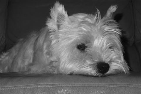 My Westie