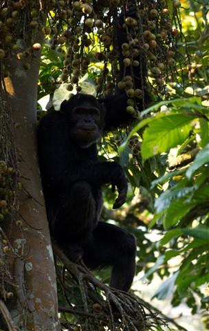 Nyungwe_Chimp