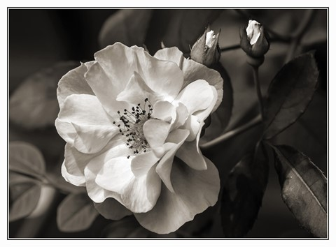 Wild-rose