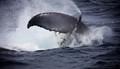 Sydney Humpback Whale