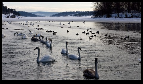 Swan-Winter-camp