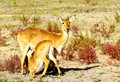 Puku antelope mother and calf at Puku Ridge - Zambia.
