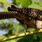 26_Common_Koel_Female_02