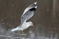 Common gull landing on ice