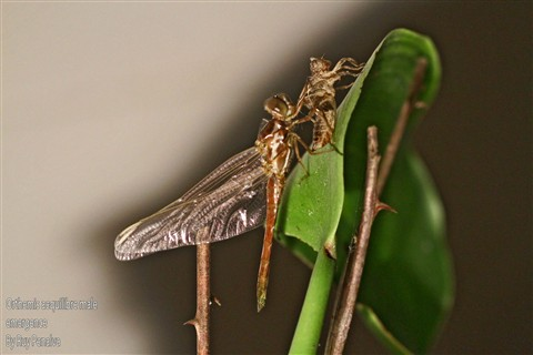 Aequil male emerg closed wings