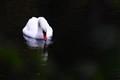 DSC_4038 (3)...the white swan...