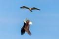Bald Eagle vs Osprey