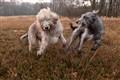 Wolfhound chases Deerhound