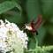 hummingbirdmoth