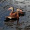 whistlingduck_02_small