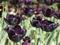 Prestine Tulips