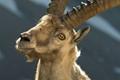 Ibex, Maritime Alps