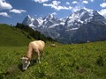 Grazing by the Eiger, Monch and Jungfrau