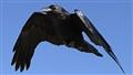 Raven3