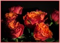 Flame red roses
