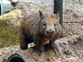Wombat in Mud